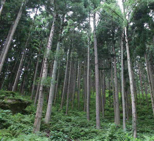 One of the investigated Japanese cedar monoculture plantations