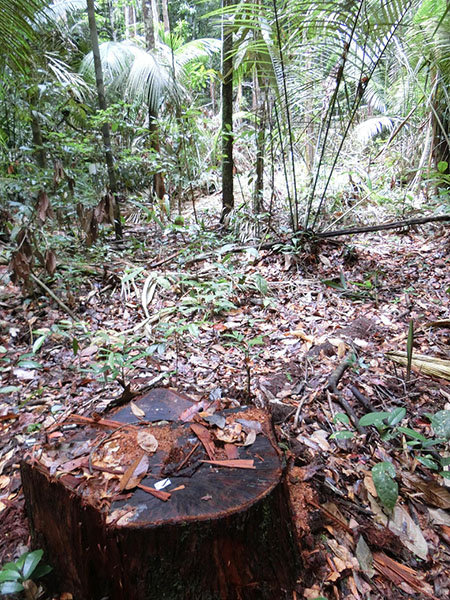 Photo: A stub left in the forest in the central Amazon
