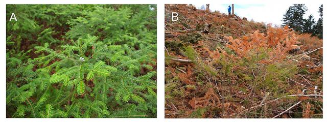 Photographs of Abies sachalinensis