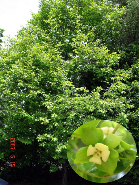 カキノキ アメリカキササゲ イイギリ カキノキ ギーマ(ヒメシャシャンボ) キミノガマズミ クス