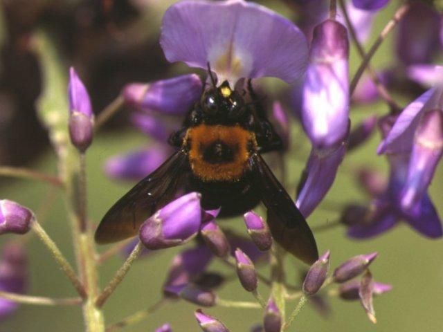 クマバチの画像 p1_2