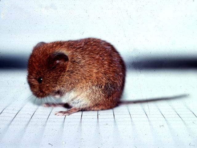 ネズミの画像 p1_10