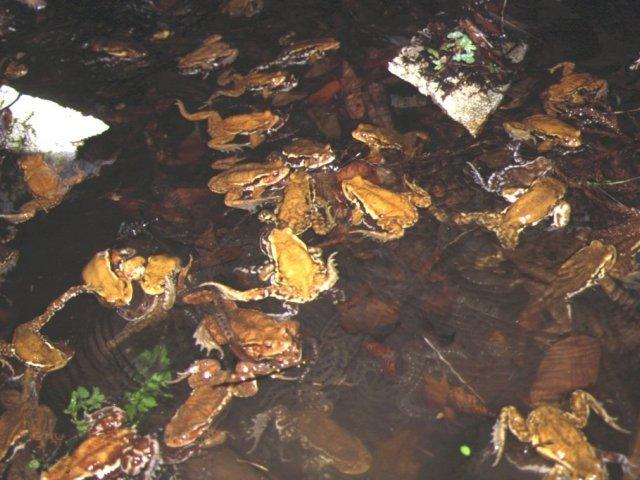 ニホンヒキガエルの画像 p1_21