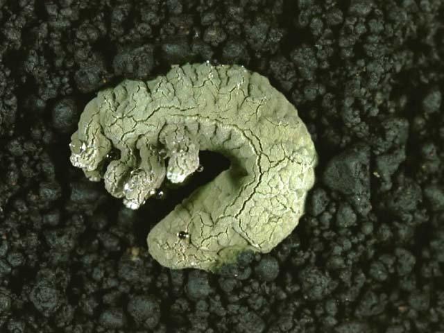 森林生物 黒きょう病菌
