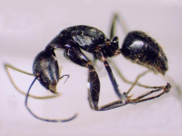クロオオアリの画像 p1_19