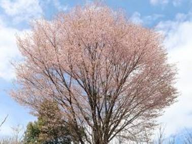 クマノザクラの樹形の写真