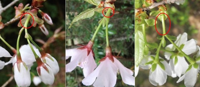 ヤマザクラ(左)とクマノザクラ(中)、カスミザクラ(右)の花序の写真