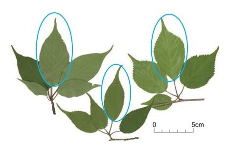 ヤマザクラ(左)とクマノザクラ(中)、カスミザクラ(右)の成葉(青丸が葉身)の写真