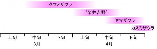図5.和歌山県古座川町におけるクマノザクラとヤマザクラ(自生)、'染井吉野'とカスミザクラ(植栽)の2017年の開花期の図