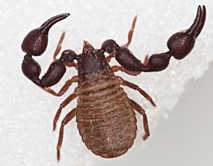 図1オオヤドリカニムシの成虫の写真