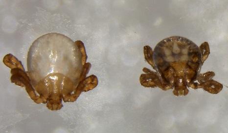 図3(左)捕食によって体内が空になったマダニ幼虫と(右)正常な幼虫の写真