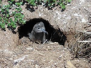 図2.オナガミズナギドリの巣と雛の写真