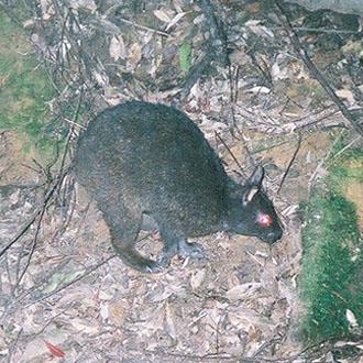 アマミノクロウサギの画像 p1_12