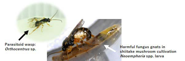 Figure1. Parasitoid wasp and fungus gnat